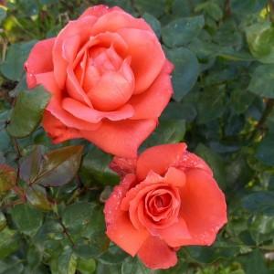 Rose-Ave-Maria-R-TH-III_NDYxMTc5M1o