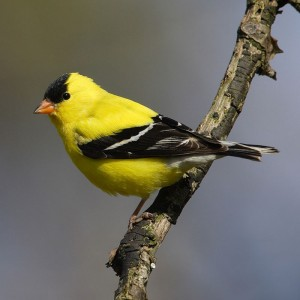 gold_finch_1-top-animal-sites-dot-net