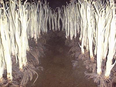 ウド の 栽培