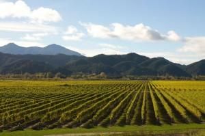 Wine Vineyards Near Marlborough Sounds Region Blenheim New Zealand