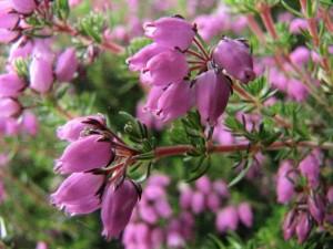 flower_of_scotland_by_heylormammy