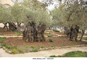 israel-jerusalem-mount-of-olives-garden-of-gethsemane-ebdjb1